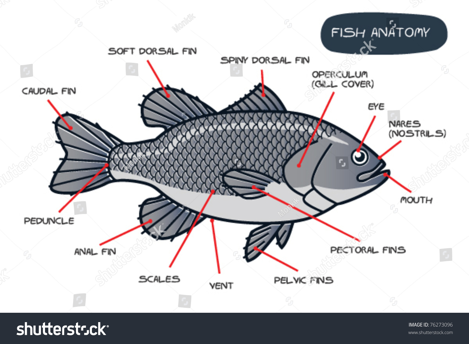 Fish Anatomy Stock Vector HD (Royalty Free) 76273096 - Shutterstock