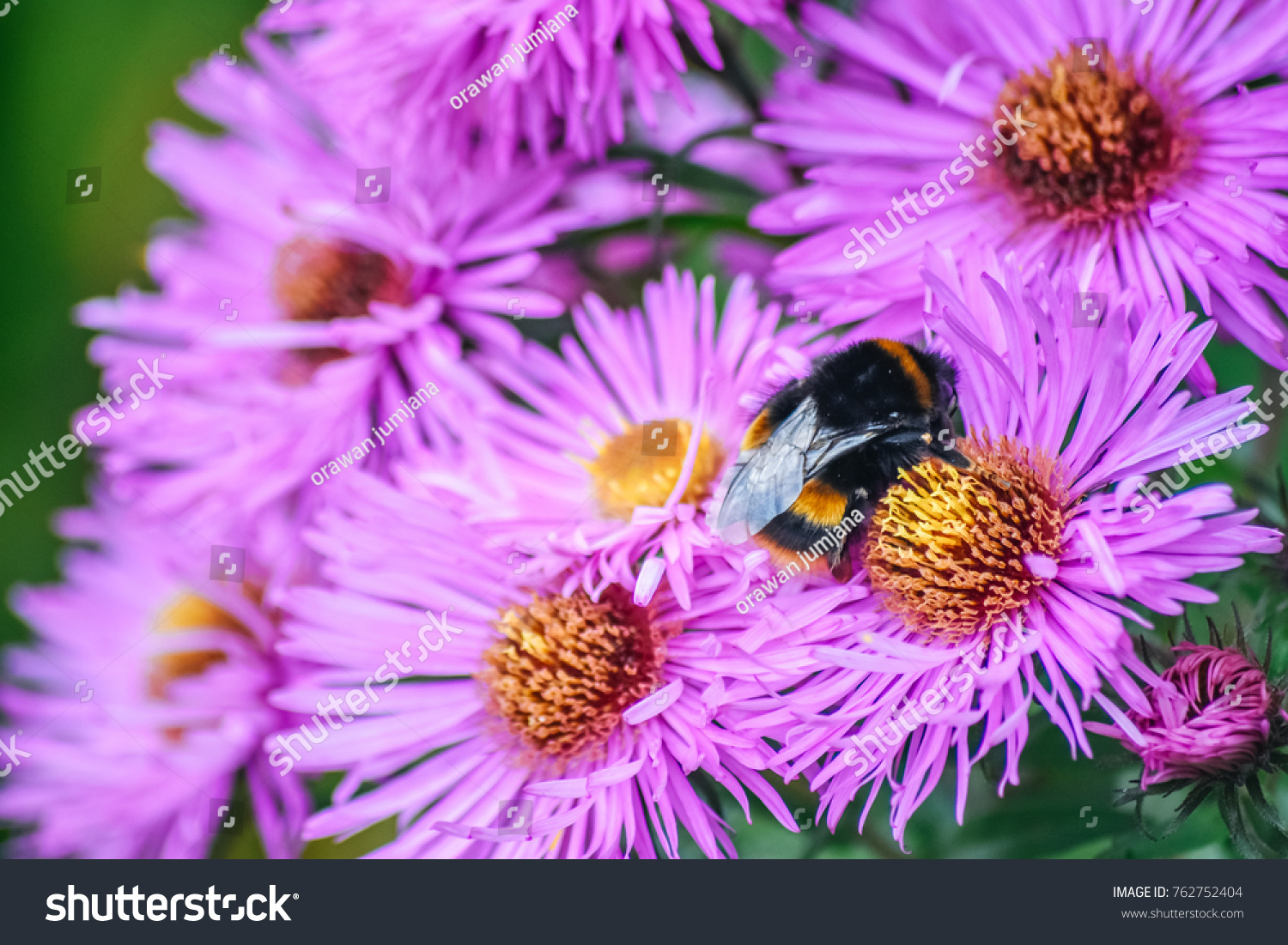 Bee Is Working On Aster Amellus Flower The Europe Michaelmas Daisy