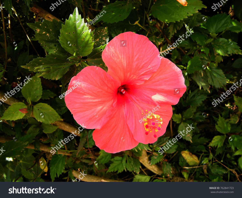 Hibiscus rosasinensis known colloquially chinese hibiscus stock hibiscus rosa sinensis known colloquially as chinese hibiscus china rose hawaiian hibiscus izmirmasajfo