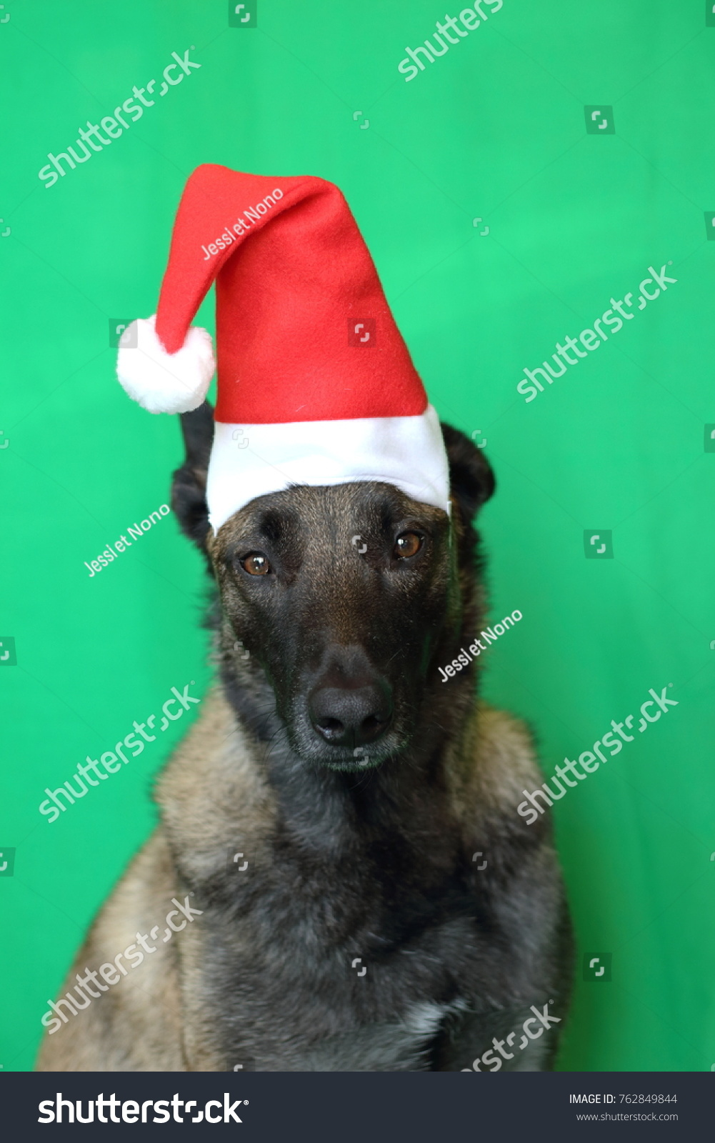 e1b564f3ff902 portrait of a Malinois Belgian Shepherd dog with a touching look wearing a Santa  hat on