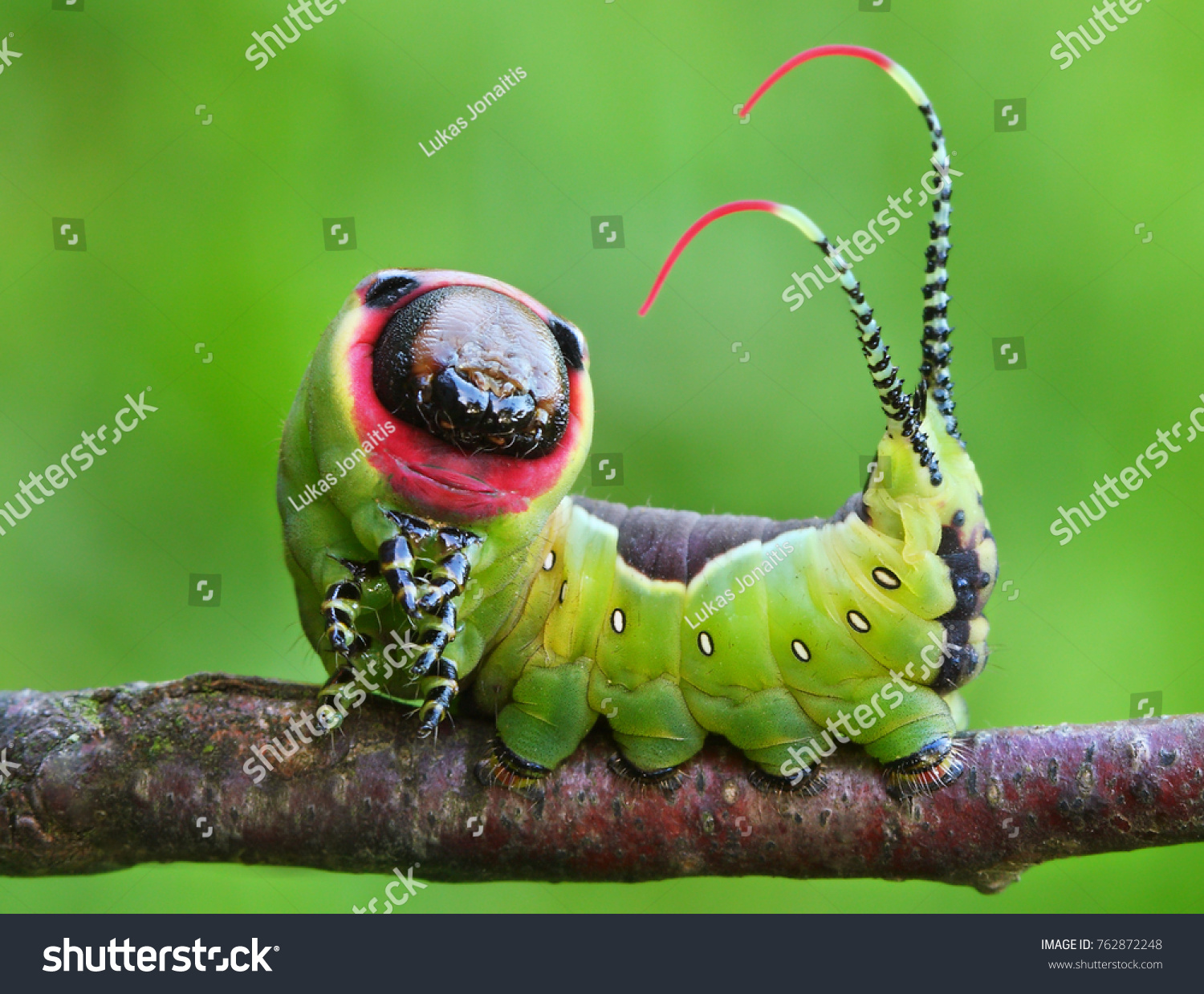 Beautiful caterpillar in a frightening pose #762872248