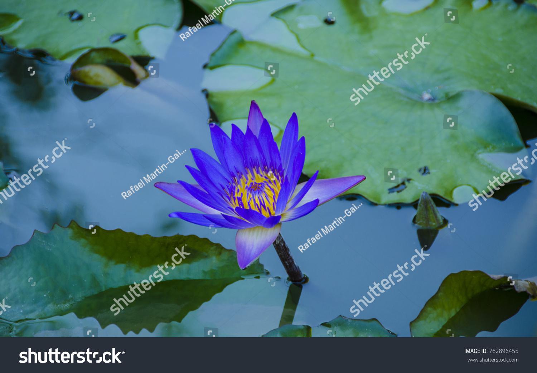 Blue Lotus Blue Egyptian Lotus Blue Stock Photo Edit Now 762896455