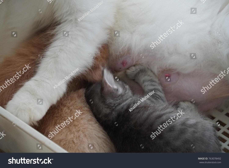 White Turkish Angora Kittens Feeding On Stock Photo Edit Now