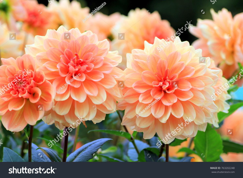Flower Garden Of Dahlia Of Autumn Ez Canvas