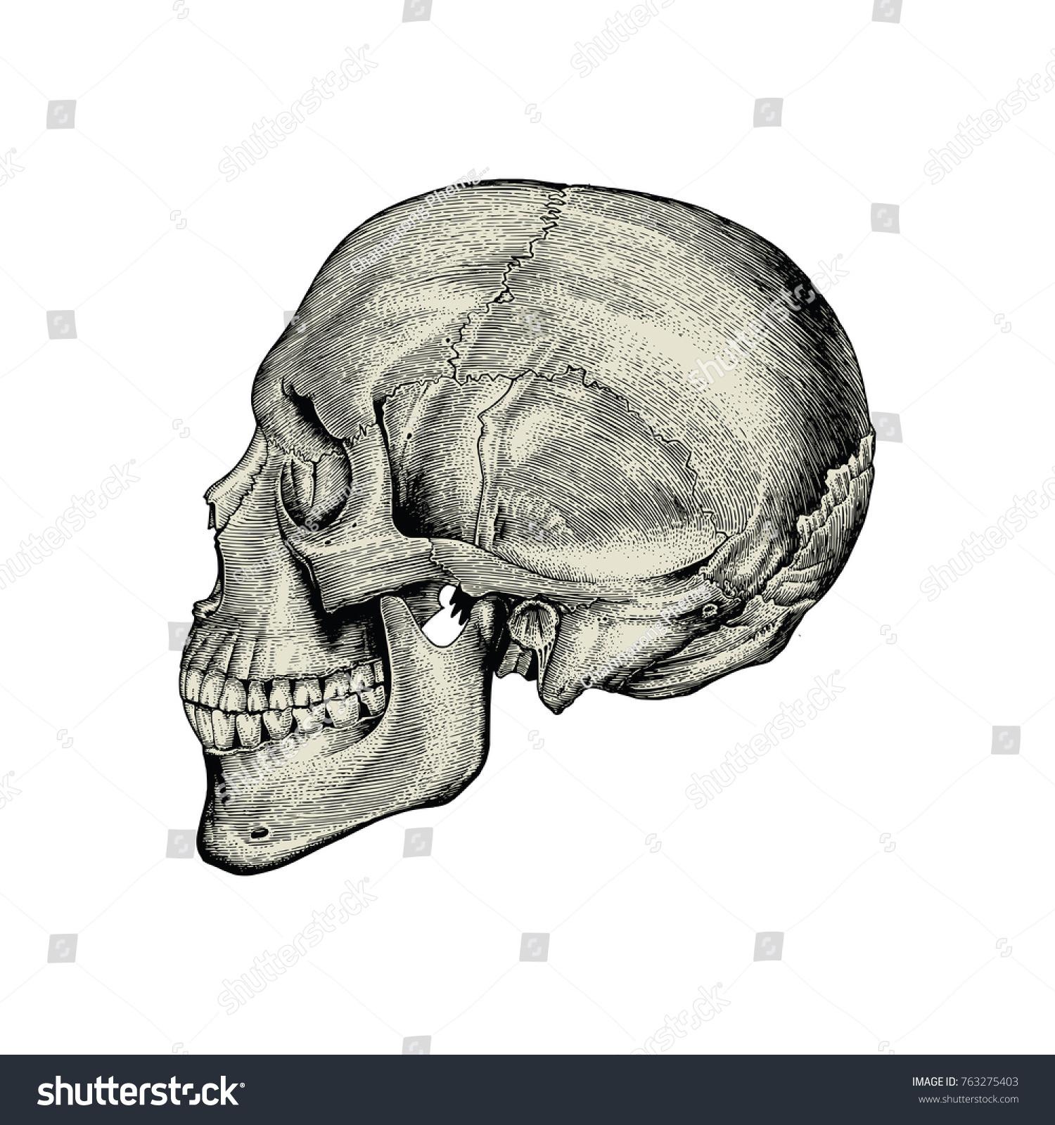 Anatomy Skull Hand Drawing Vintage Lateral View Stock Vektorgrafik