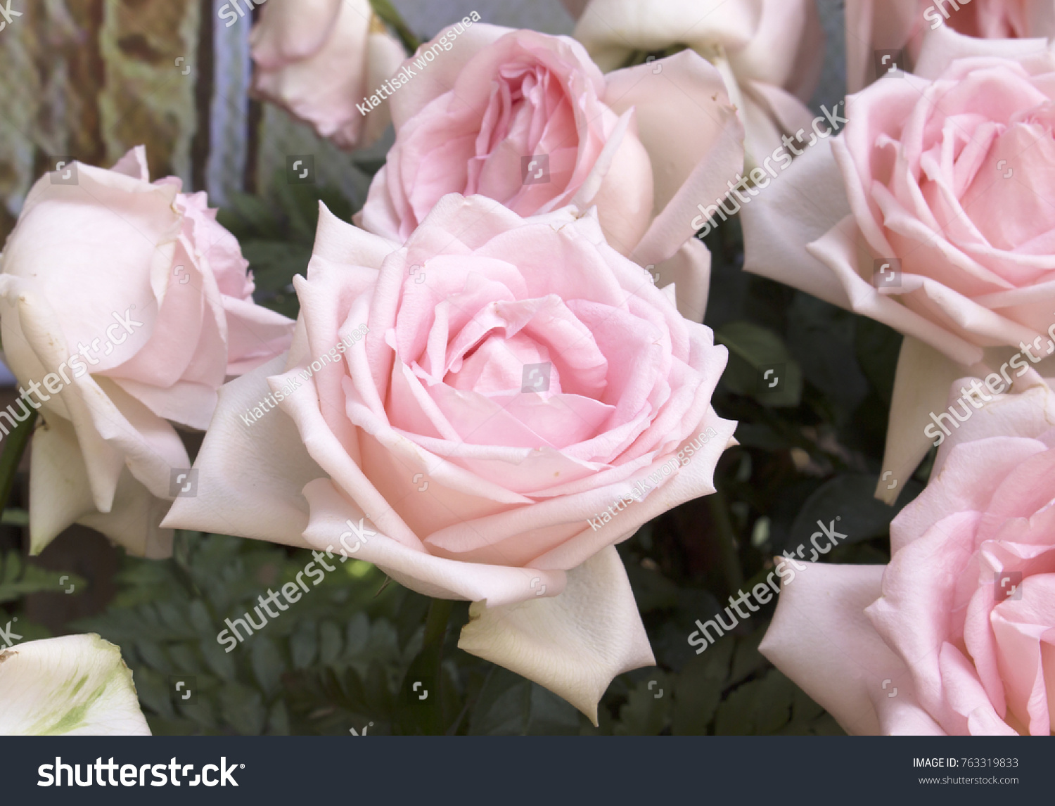 Roses popular flower that grows very stock photo edit now roses is a popular flower that grows very much because it is a beautiful fragrant izmirmasajfo