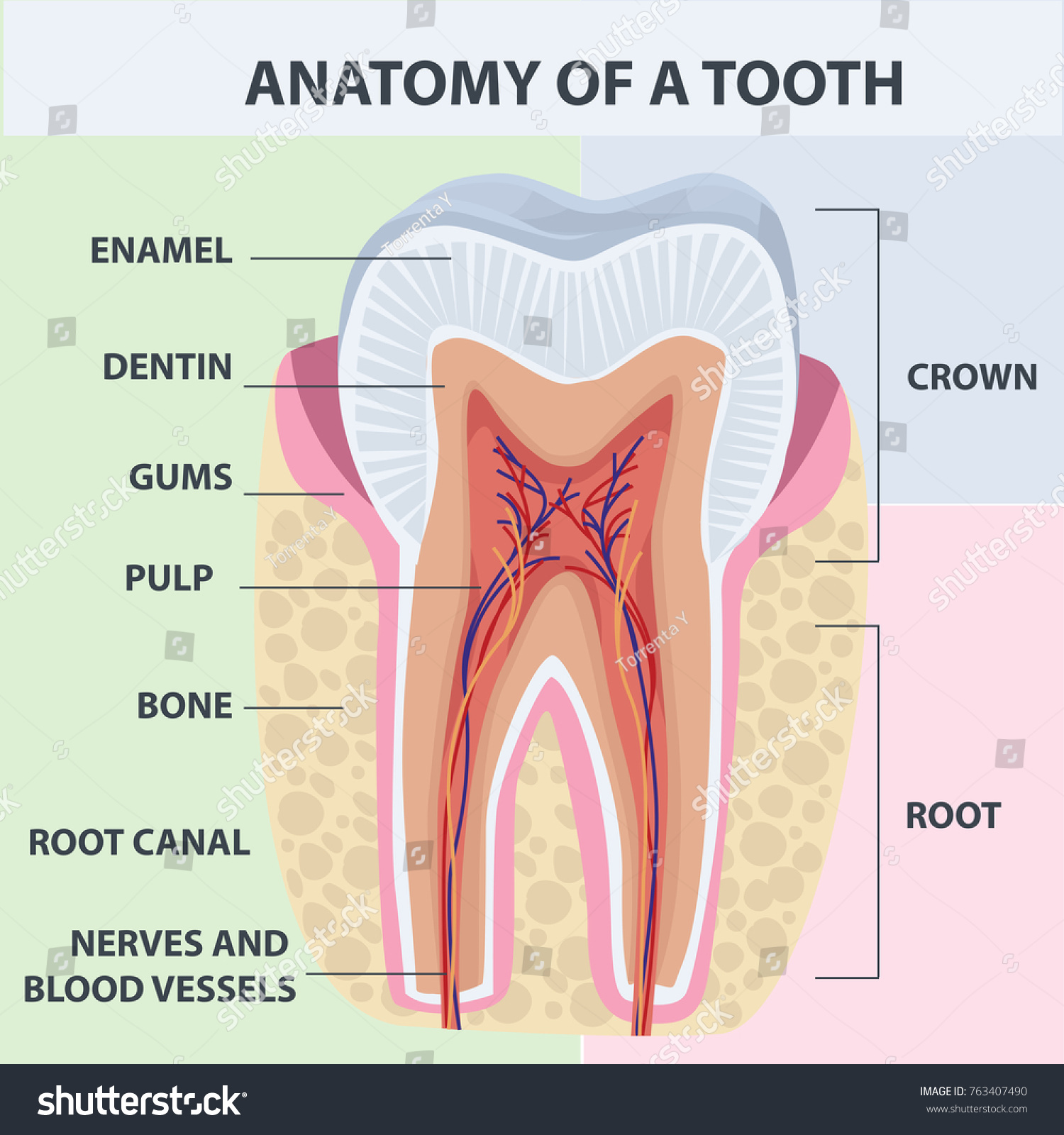 Tooth Anatomy Vector Dental Infographics Medical Stock Vector