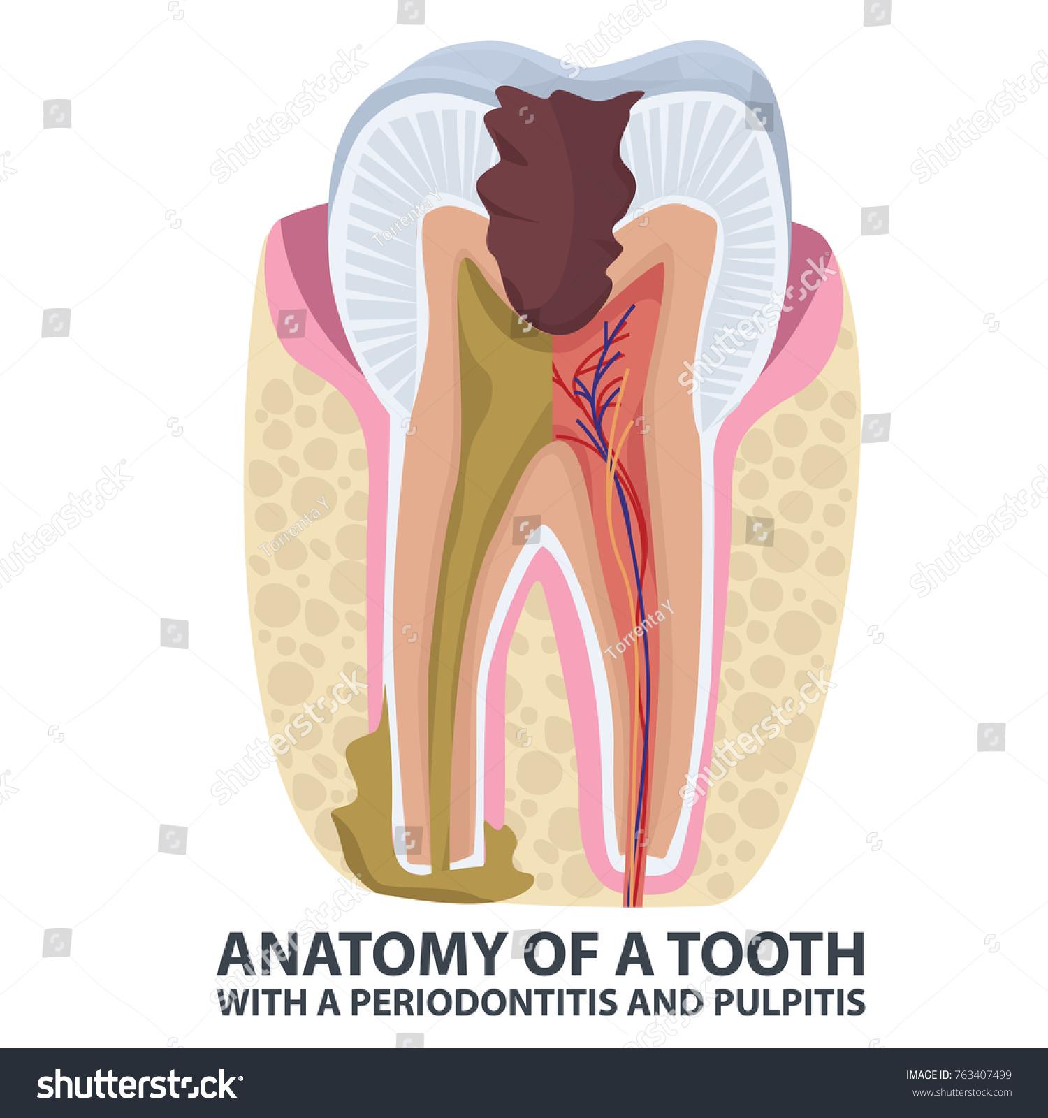 Tooth Anatomy Vector Dental Infographics Enamel Stock Vector ...