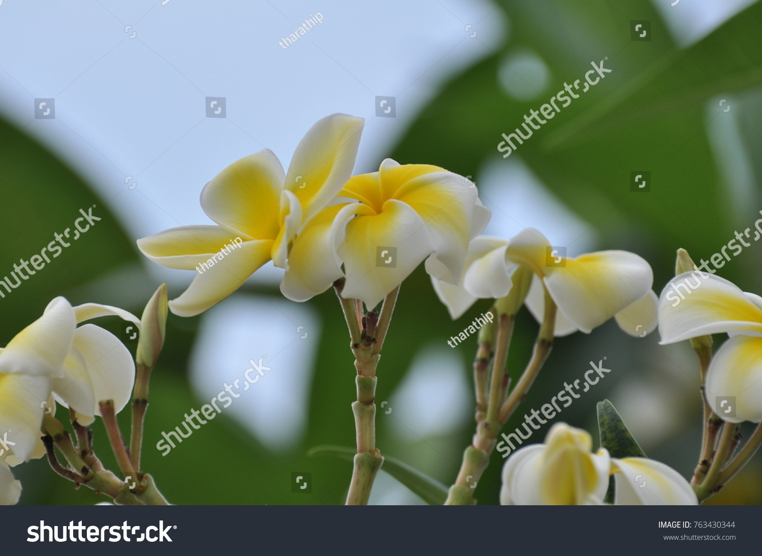 Beautiful Yellow And White Flowers With Branches And Green Leaves