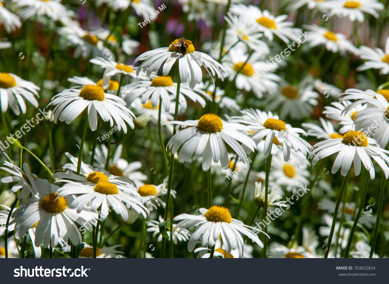 Summer Photos Flowers Daisies Aromatic European Stock Photo Royalty