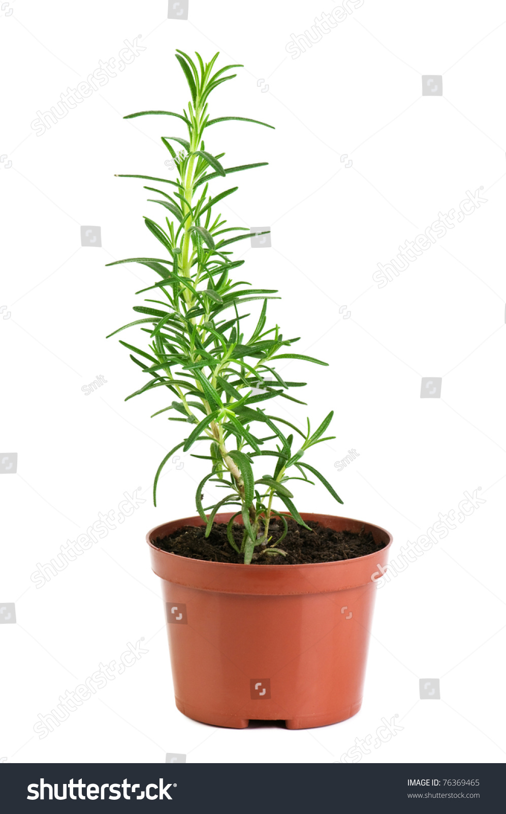 Rosemary in pot isolated on white stock photo 76369465 shutterstock - Aromatic herbs pots multiple benefits ...