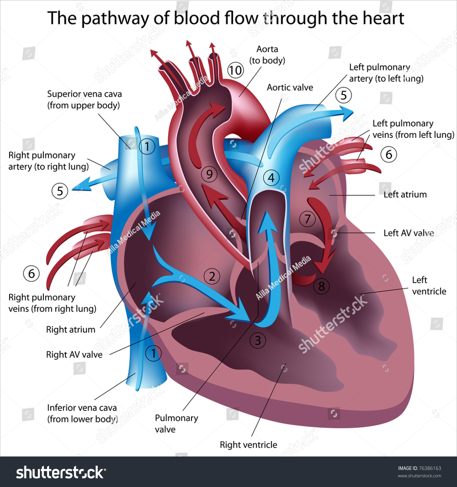pathway of blood flow through the heart stock photo      pathway of blood flow through the heart preview  save to a lightbox