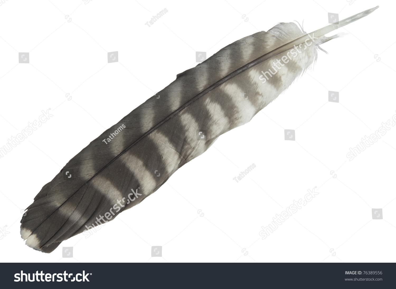 Peregrine falcon tail feather. Isolated on white. Latin name Falco pereginus.