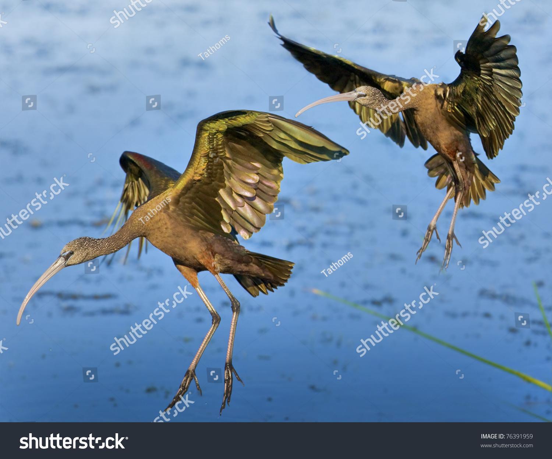 Glossy ibises landing on water in floridian wetlands. Latin name - Plegadis falcinellus.