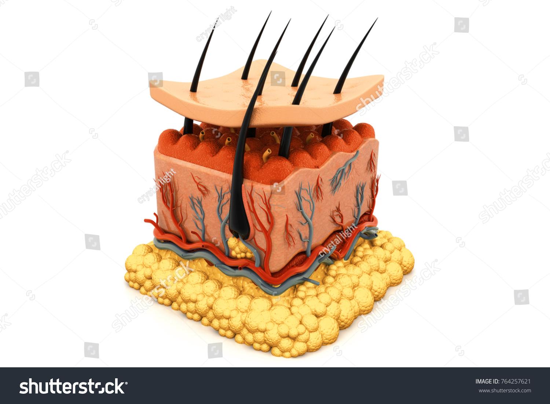 Human Skin Anatomy 3 D Render Stock Illustration 764257621
