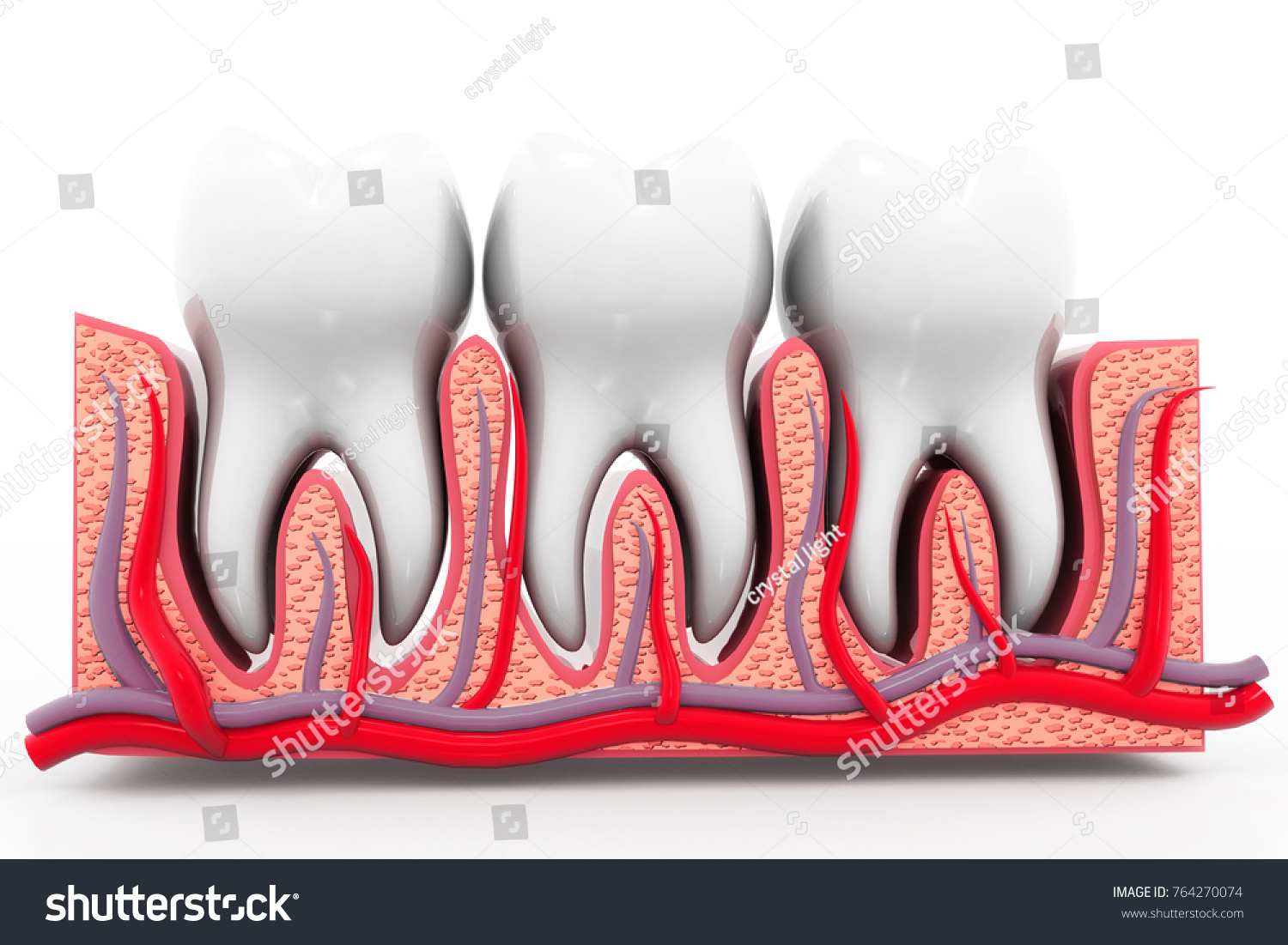 Human Tooth Anatomy 3 D Render Stock Illustration 764270074