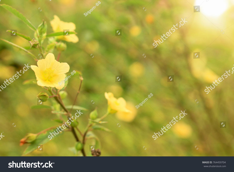 Sida Rhombifolia Flowers Soft Yellow Set Stock Photo Edit Now