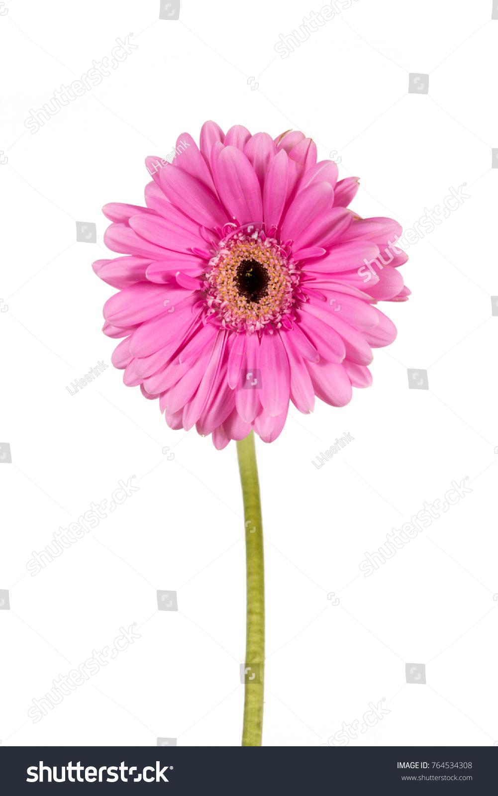 Single Flower On White Background Stock Photo Edit Now 764534308