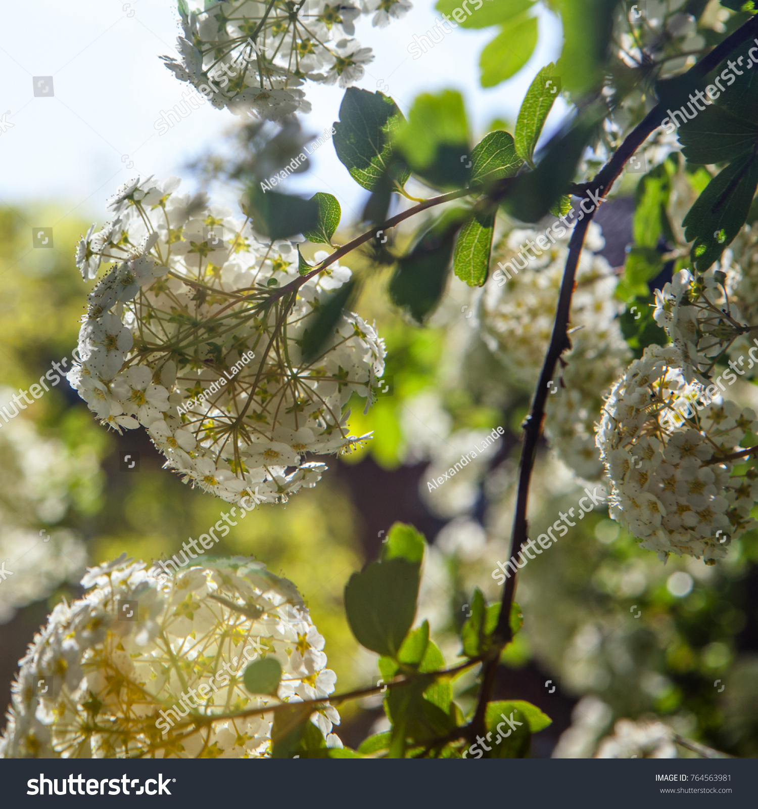 Green Bush Clusters White Flowers Background Stock Photo Edit Now