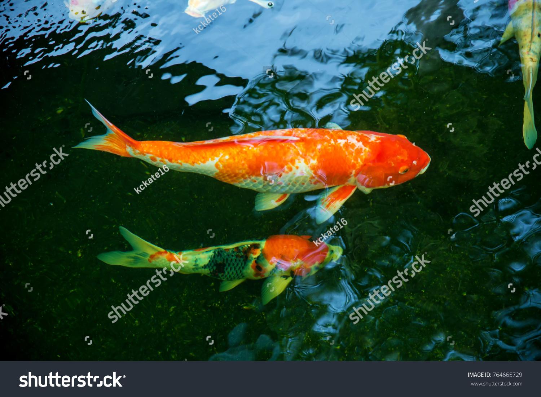 Colorful Koi Fish Swimming Waiting Food Stock Photo (Royalty Free ...