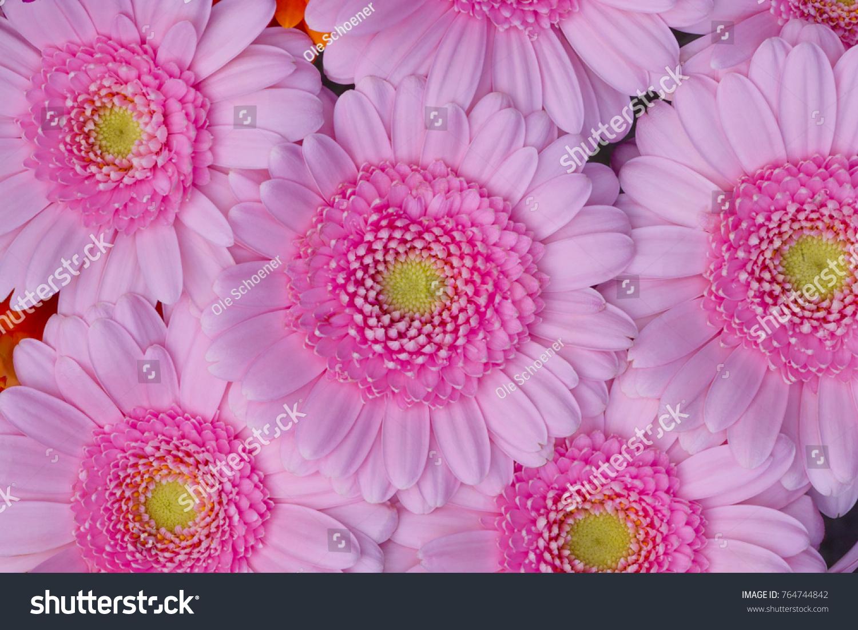 beautiful floral pattern wallpaper pink gerbera stock photo (safe to