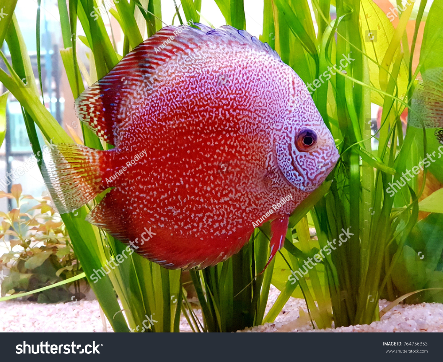 Discus Fish Symphysodon Known King Aquarium Stock Photo (Royalty ...