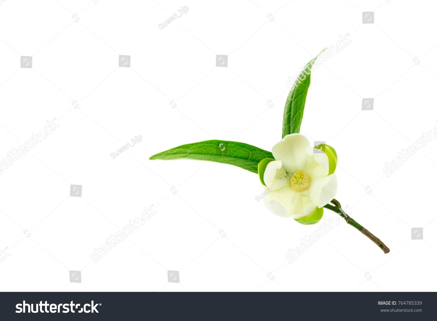Beautiful White Lotus Flower Bouquet Isolated On White Background