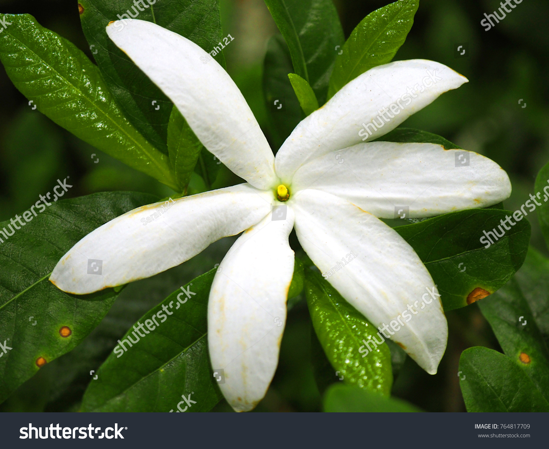 Macro Close Up Six Long White Petal Gardenia Jasminoides Pud Darwin