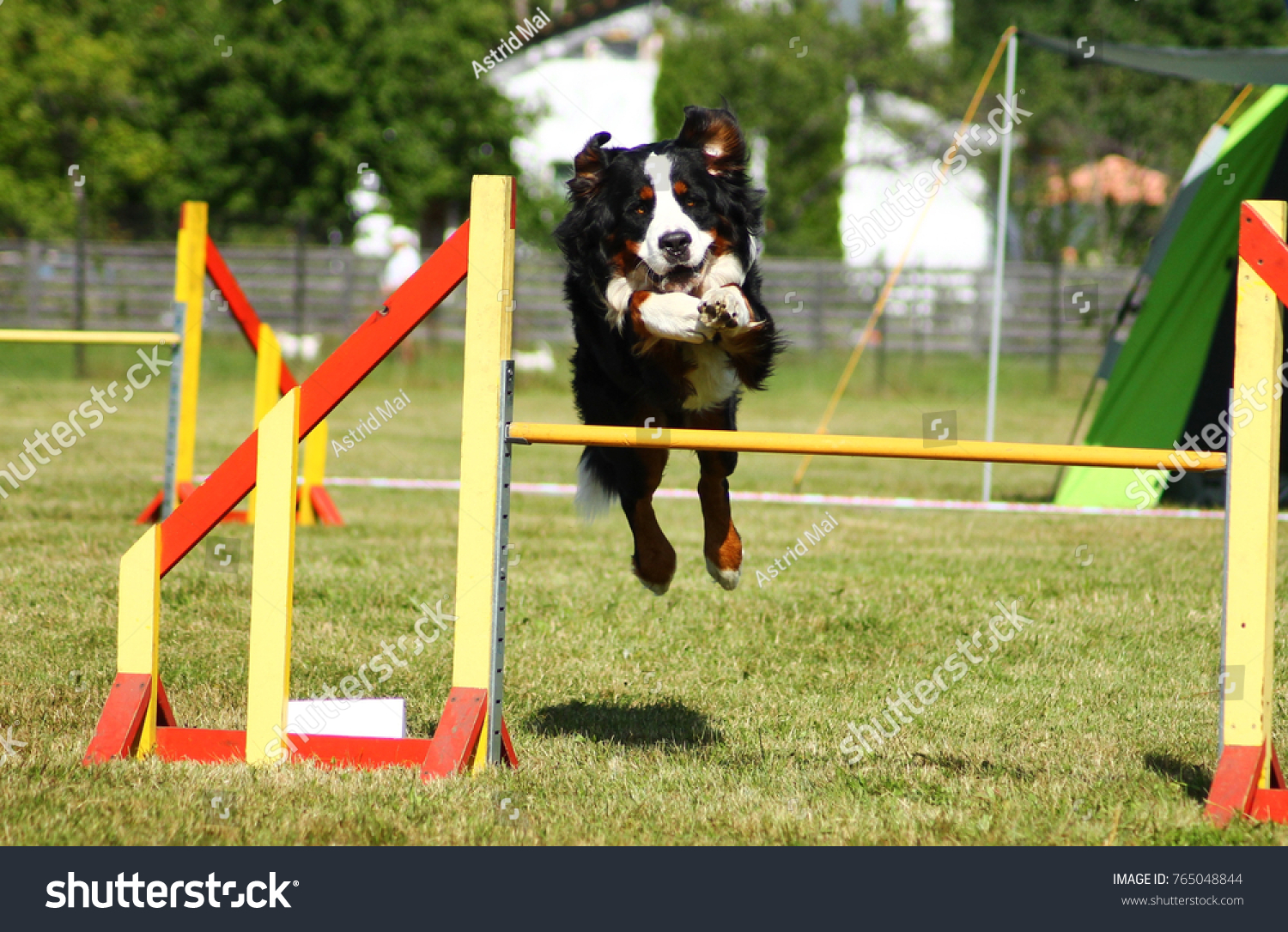 Bernese Mountain Dog Jumping Over ...