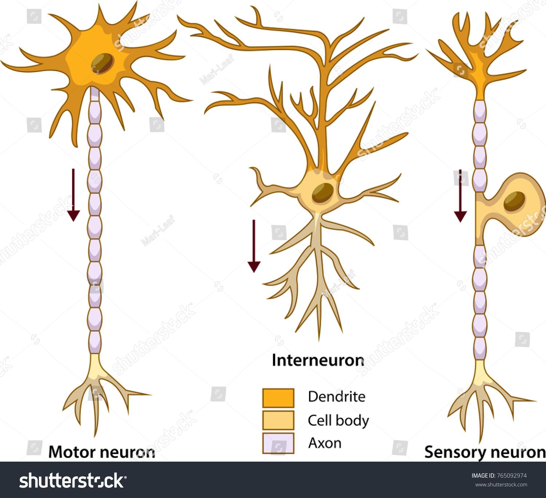 Schematic Vector Illustration Three Types Neurons Stock Vector