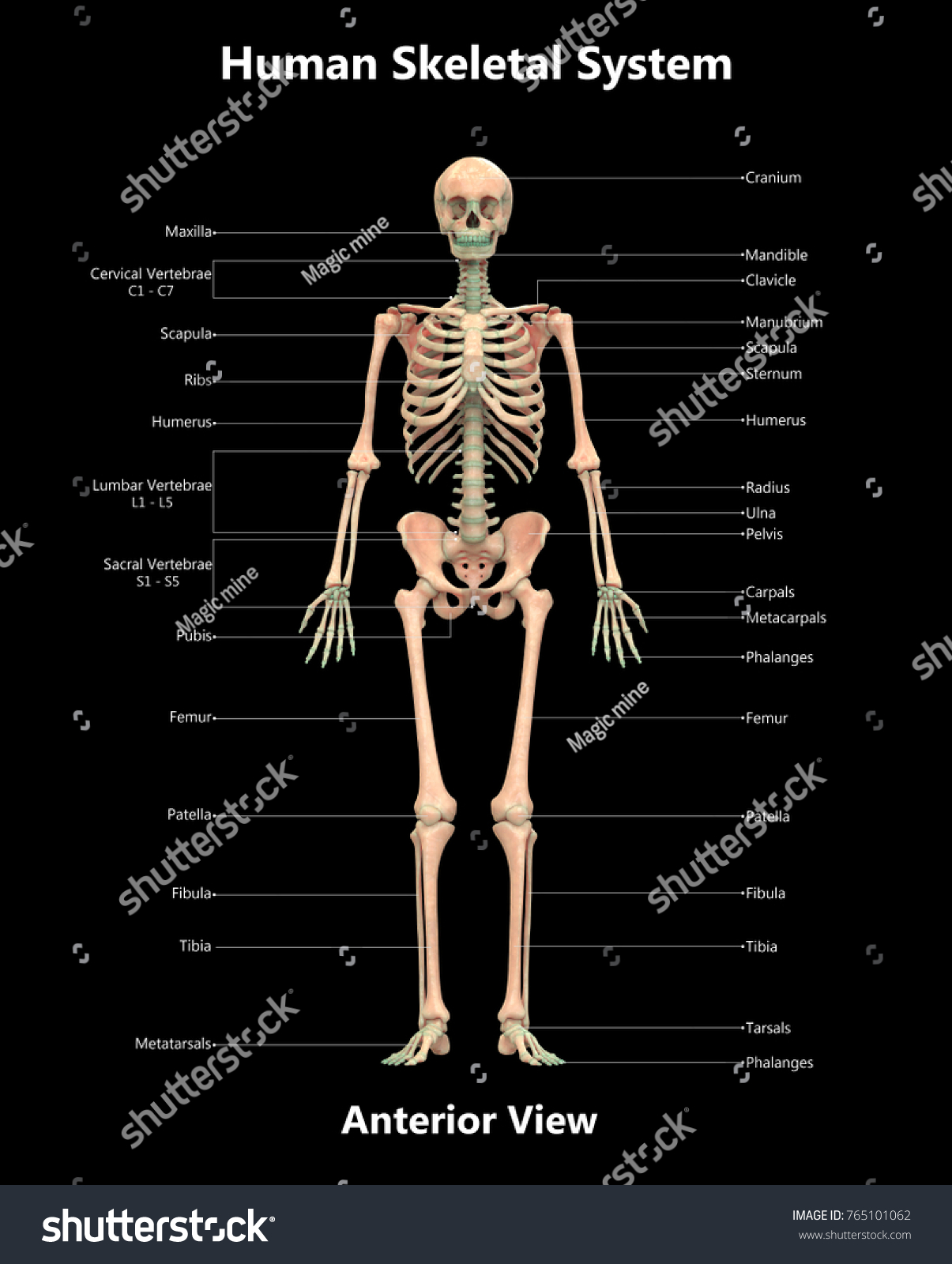Royalty Free Stock Illustration Of 3 D Illustration Human Skeleton
