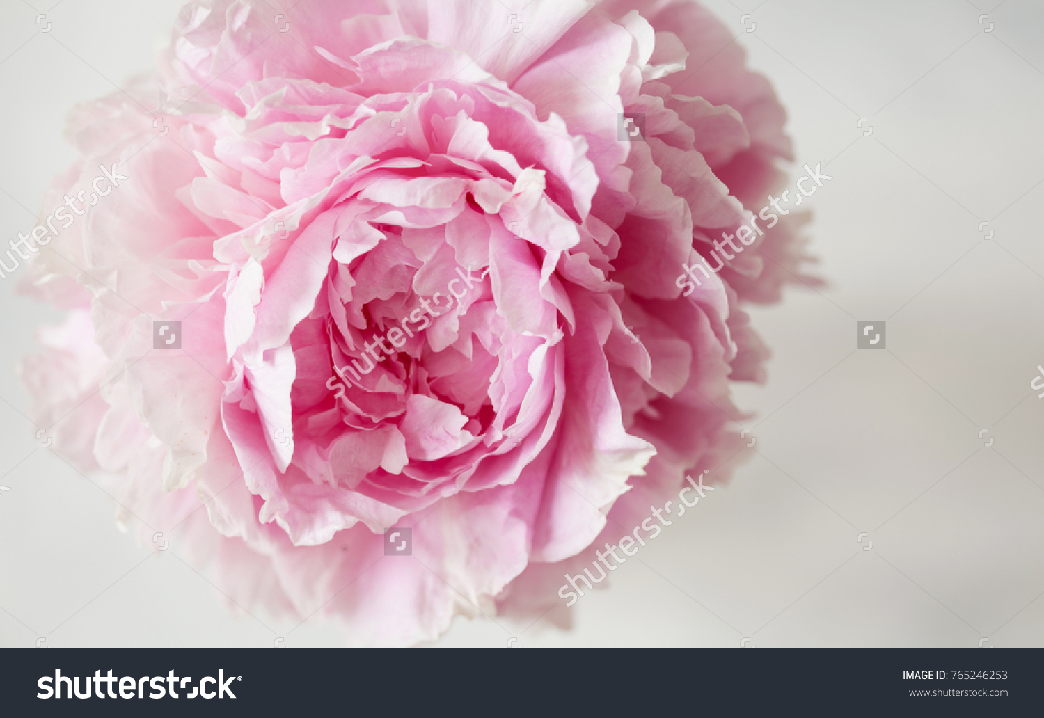 Close Up Of Fresh Pink Peony Rose Flower Pastel Floral Wallpaper