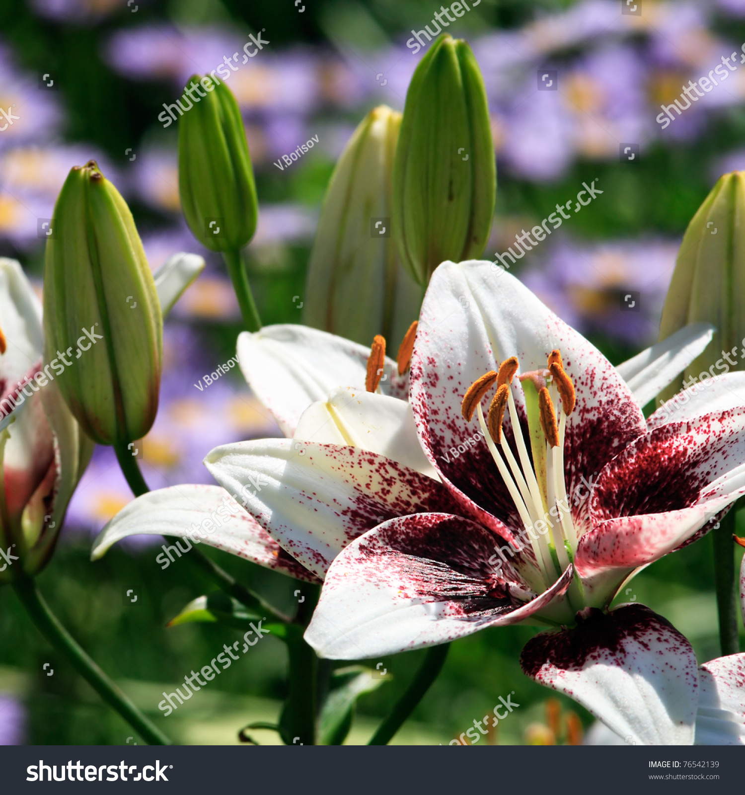 White tiger lily flowers buds stock photo edit now shutterstock white tiger lily flowers and buds izmirmasajfo