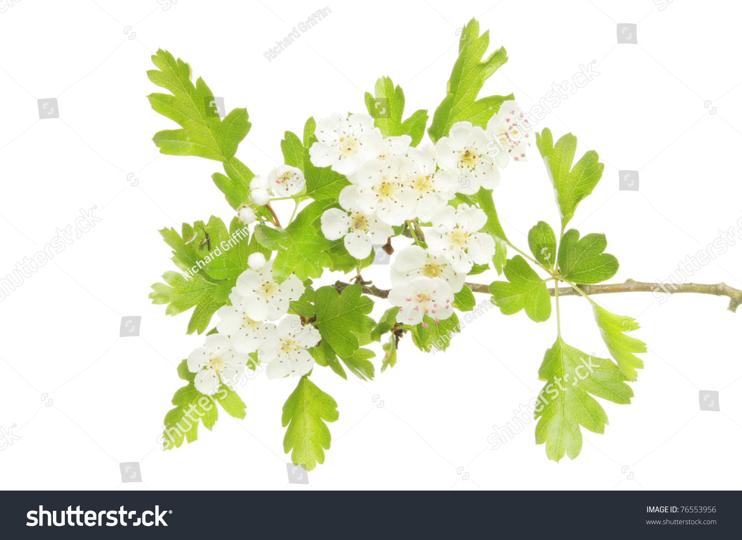 Hawthorn Flowers And Leaves Also Known As May Blossom Isolated