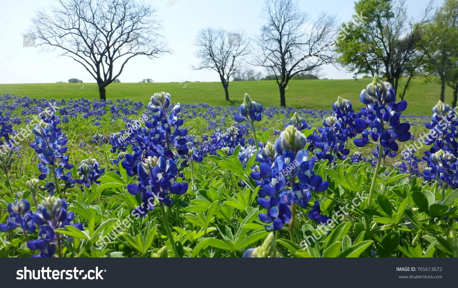 Large Field Bluebonnet Flowers Spring Time Stock Photo Edit Now