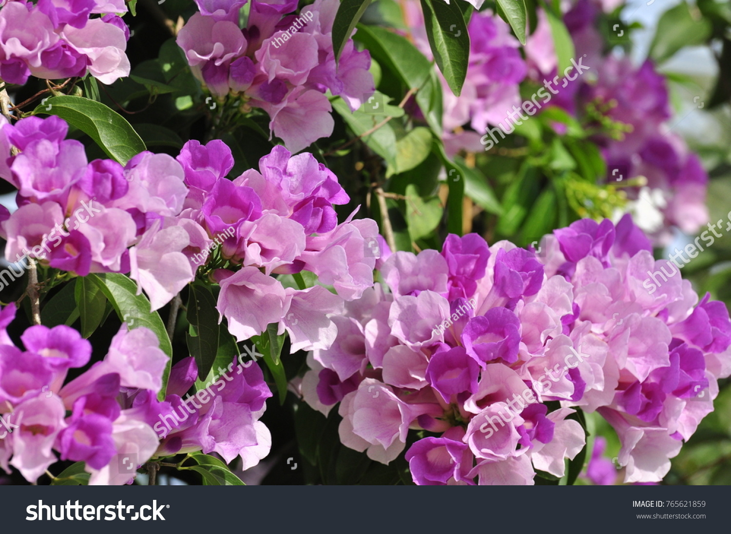 Colorful flowers in nature beautiful violet and pink flowers with id 765621859 izmirmasajfo