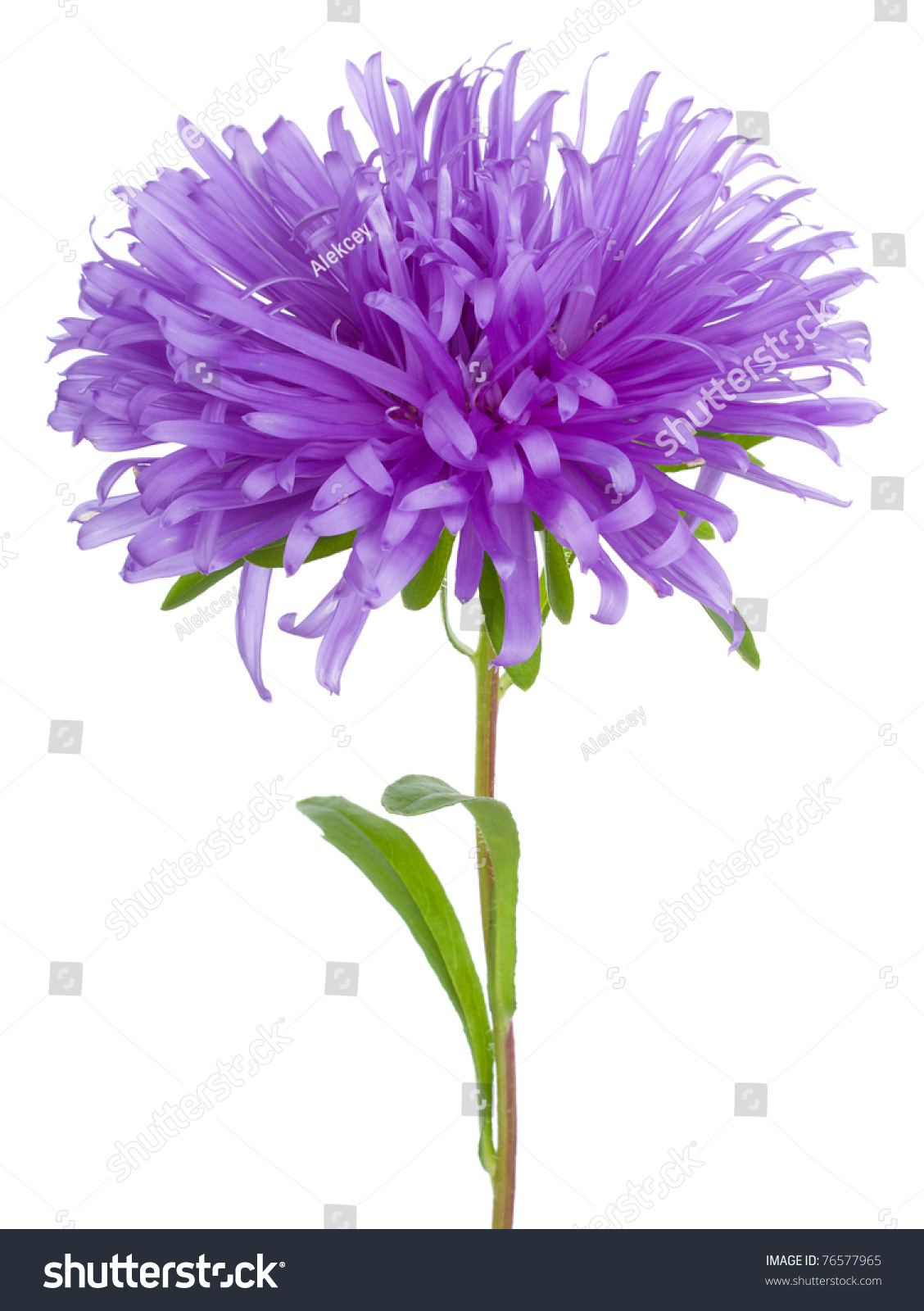 purple aster flower stock photo   shutterstock, Beautiful flower