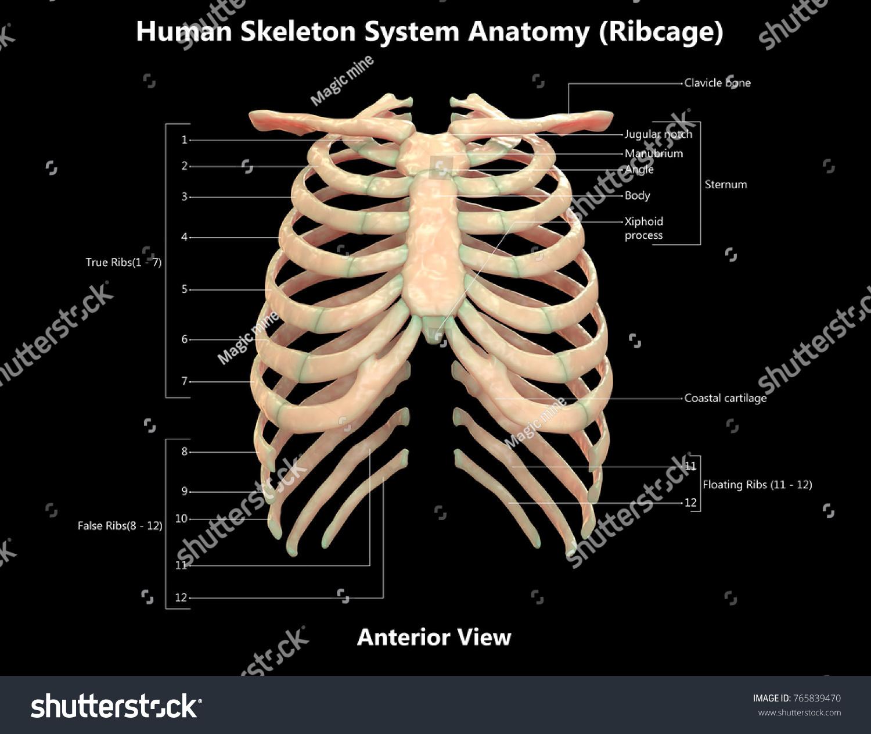 3 D Illustration Human Skeleton System Rib Stock Illustration ...