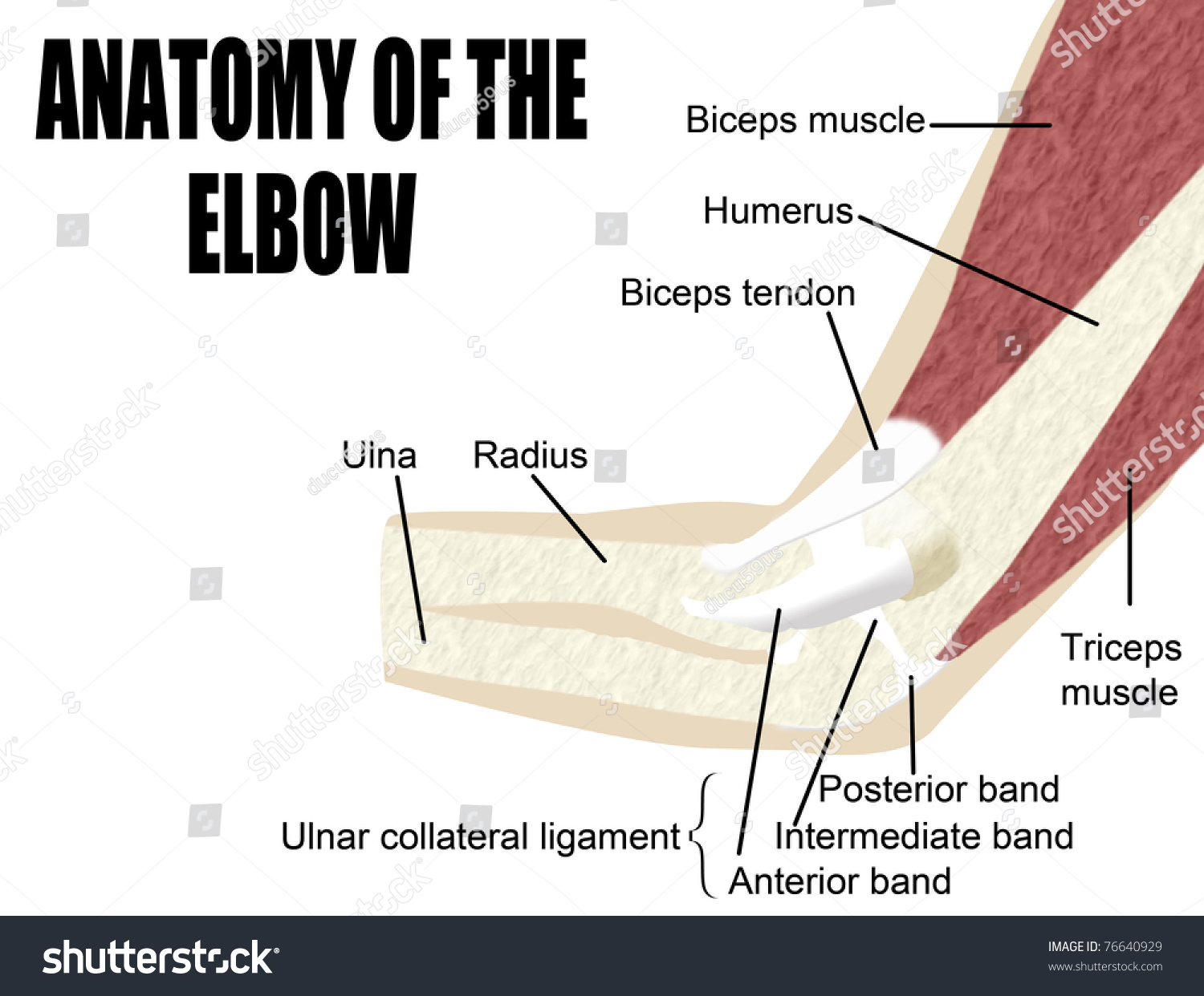 Anatomy Elbow Bones Muscles Arm Useful Stock Vektorgrafik