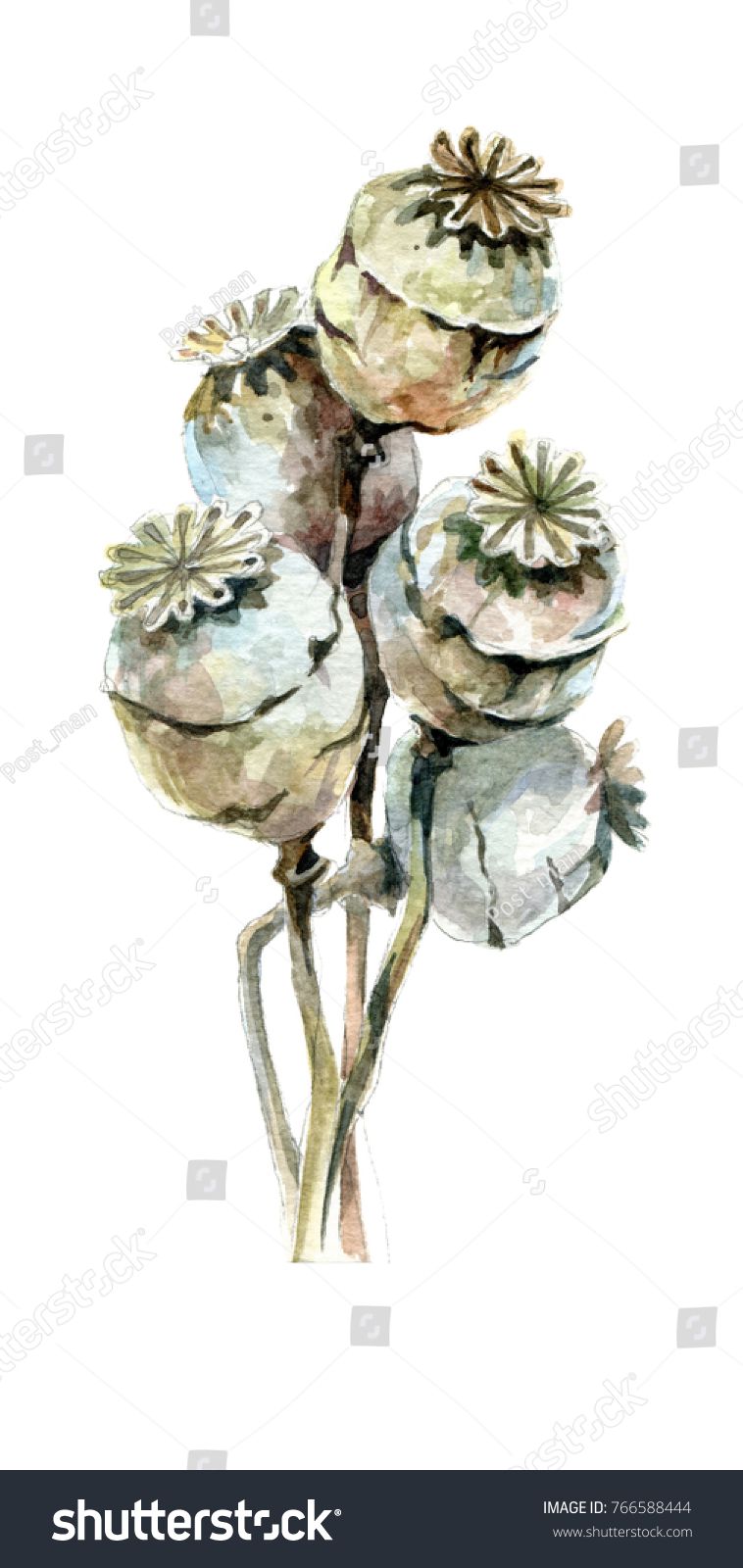 Watercolor Painting Dry Bouquet Dry Poppy Stock Illustration