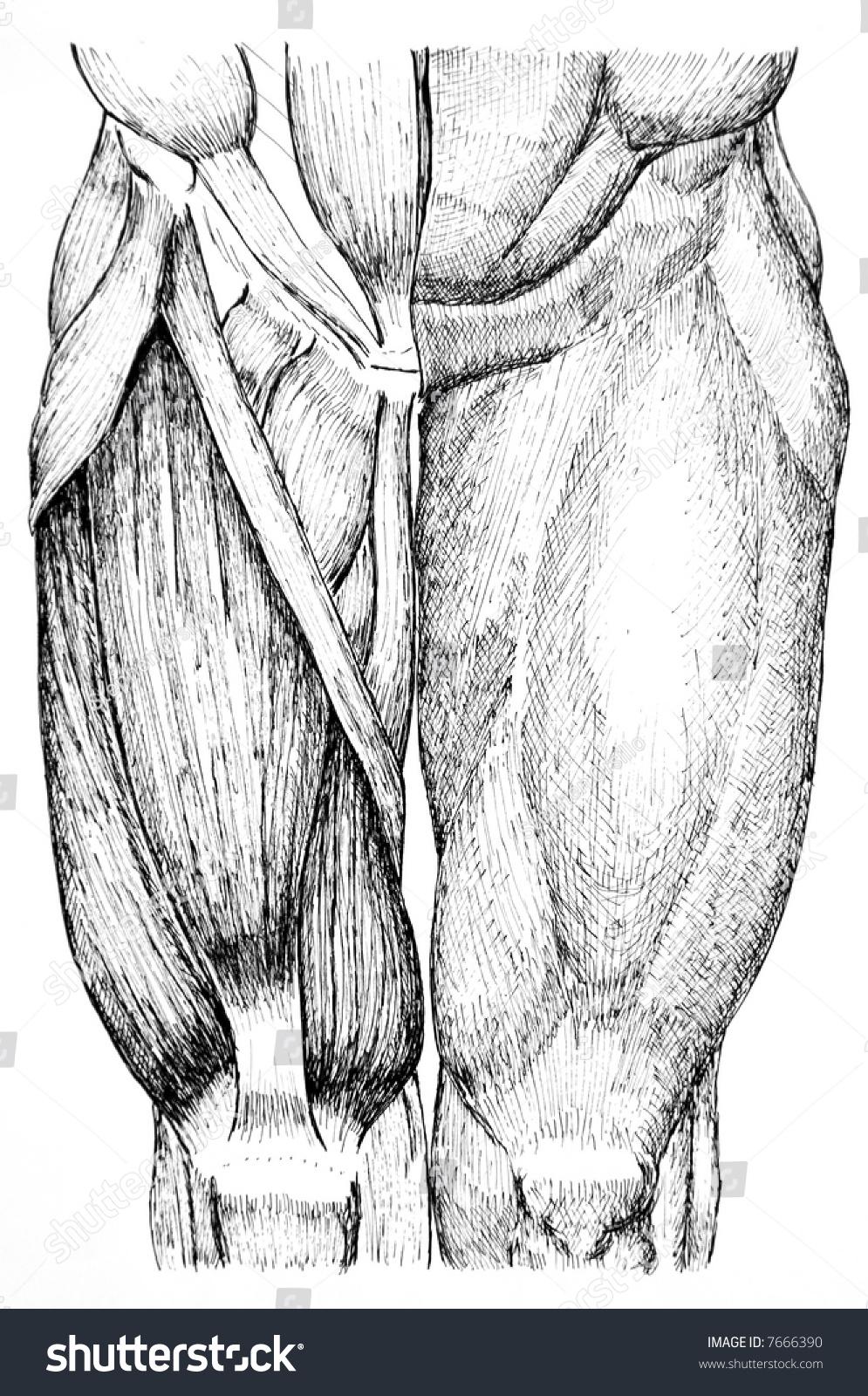 Pen Ink Anatomical Drawing Back Man Stock Illustration 7666390 ...