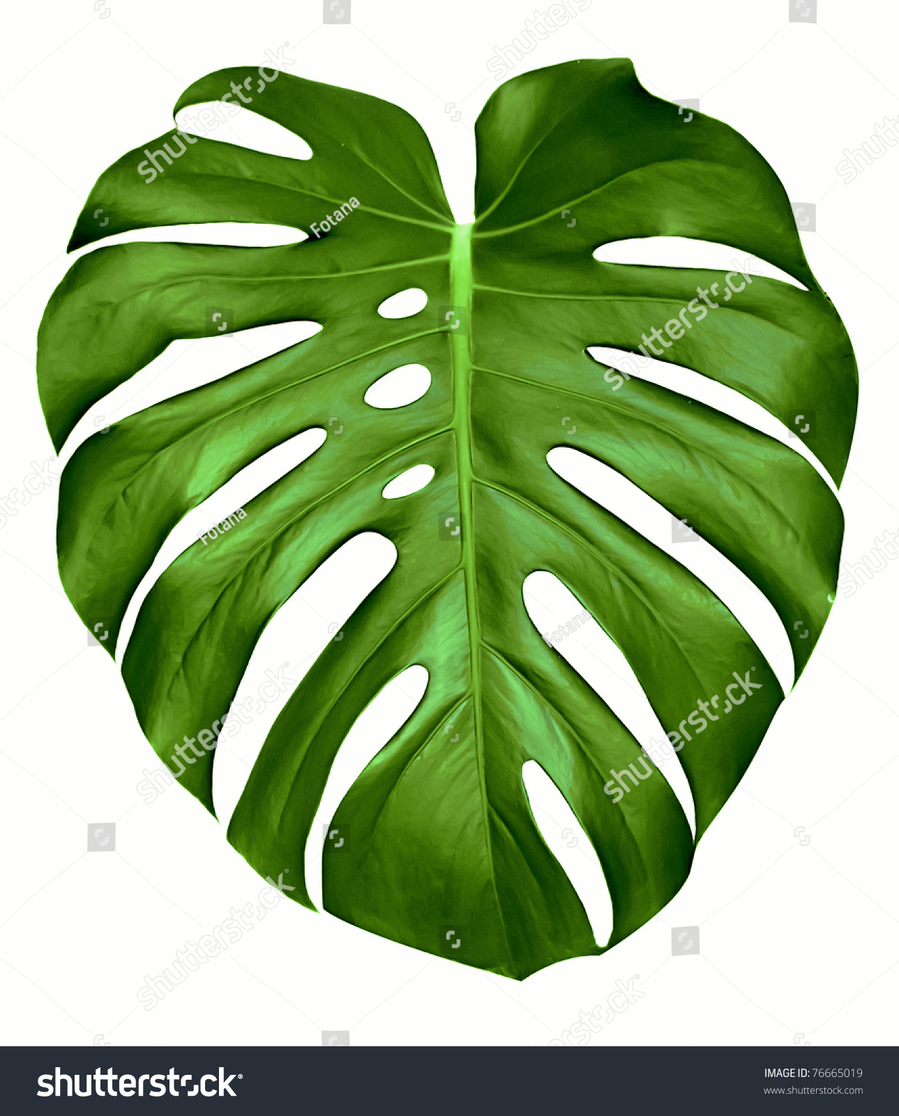 Big Green Egg Outdoor Kitchen: Big Green Leaf Monstera Plant Isolated Stock Photo