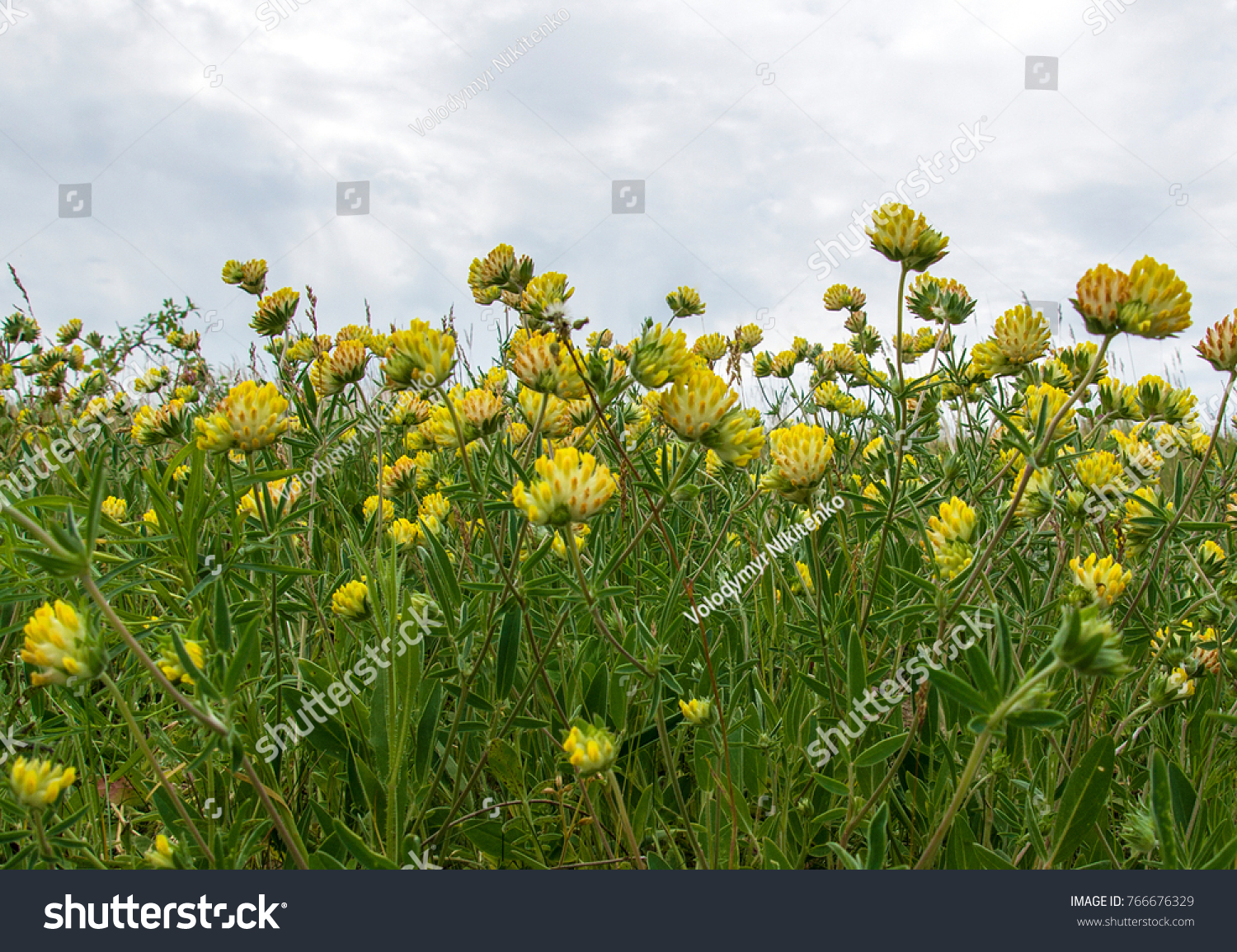 Trifolium Cyathiferum Yellow Flowers Species Clover Stock Photo