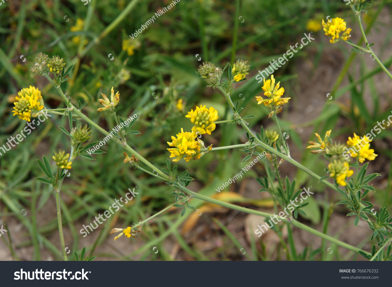 Trifolium Campestre Yellow Flowers Species Clover Stock Photo