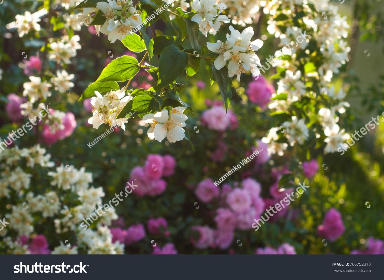 Bush White Jasmine Pink Roses Garden Stock Photo Royalty Free