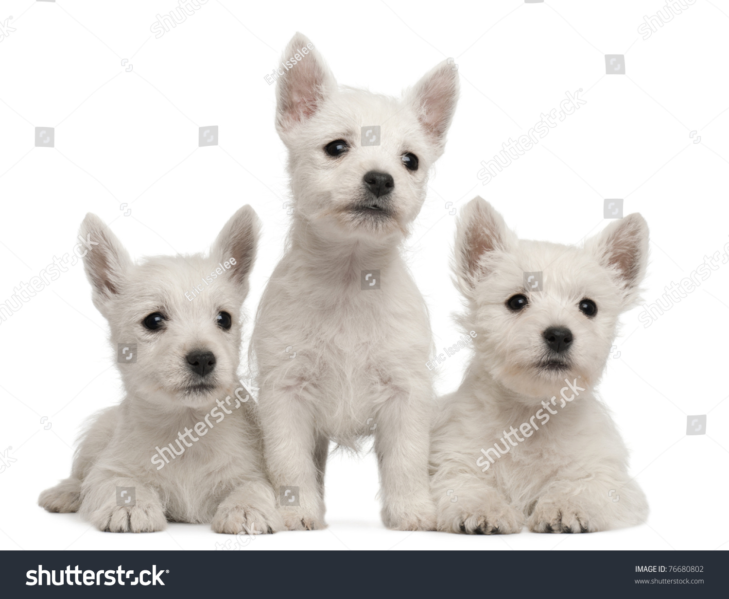 Three West Highland Terrier Puppies, 7 Weeks Old, In Front Of ...