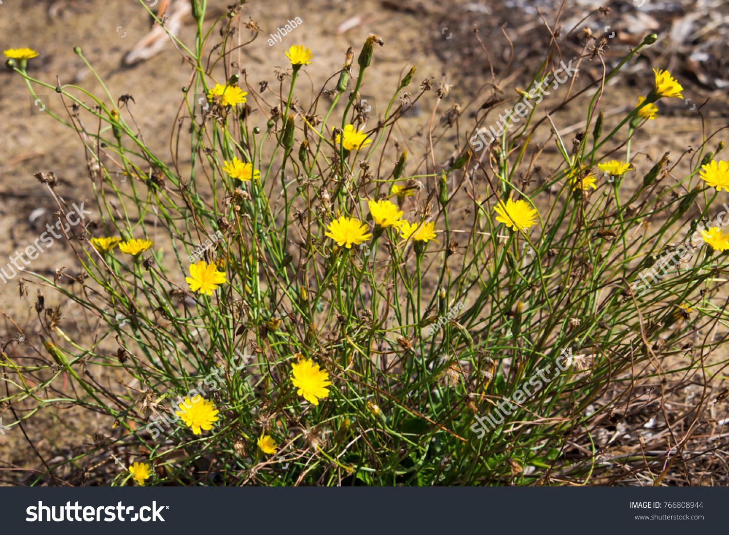 Common Australian Pasture Weed Common Sow Stock Photo Royalty Free