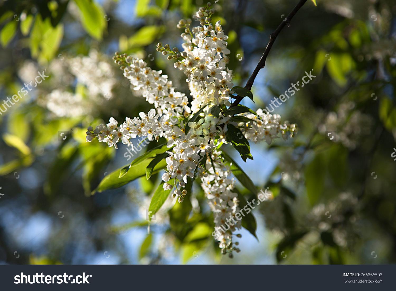 The Bird Cherry Bush In Bloom White Flowersautiful White