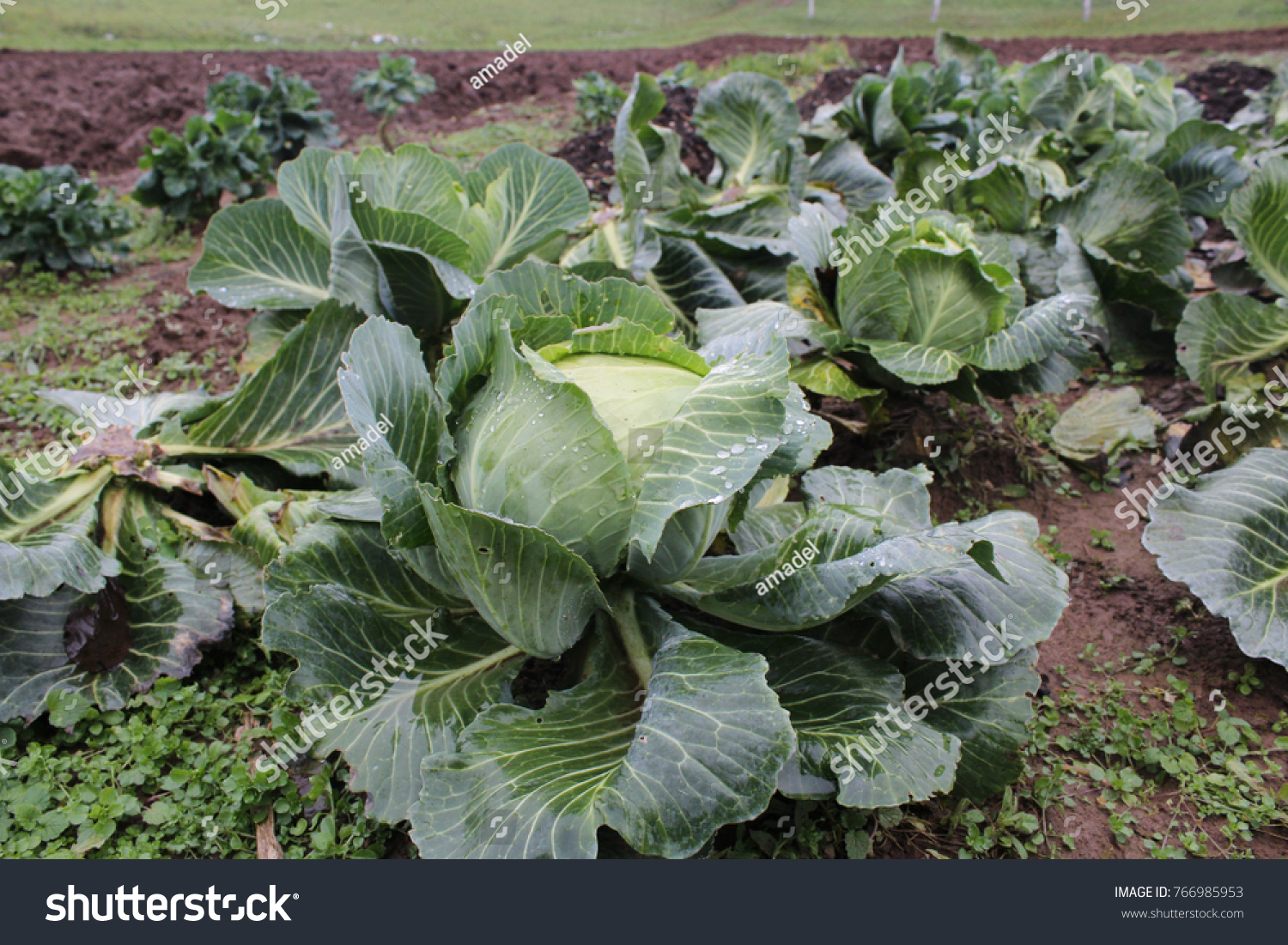 stock-photo-late-autumn-white-cabbage-in