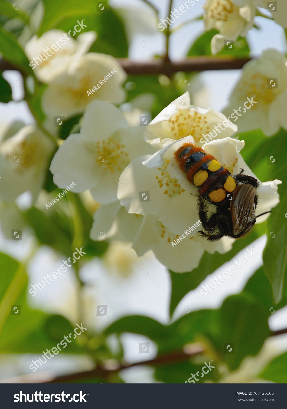 Insect hornet white jasmine flowers close stock photo royalty free insect hornet at white jasmine flowers close large hornet with bright yellow and black spots izmirmasajfo